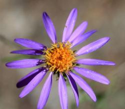 Wild Aster in purple with yellow center.jpg