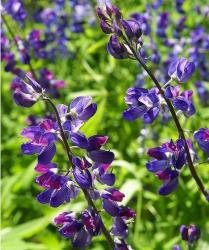 Wild Lupin flowers picture.jpg