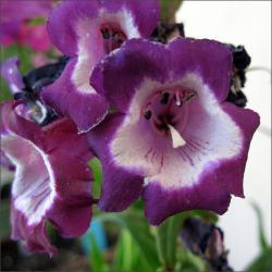 Purple Penstemon flowers.jpg