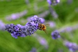 bee and lavender flower pictures.jpg