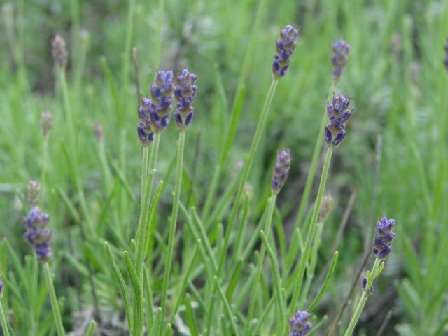 blue lavender flower buds.jpg