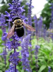 close photo of beautiful lavender flower with bee.jpg