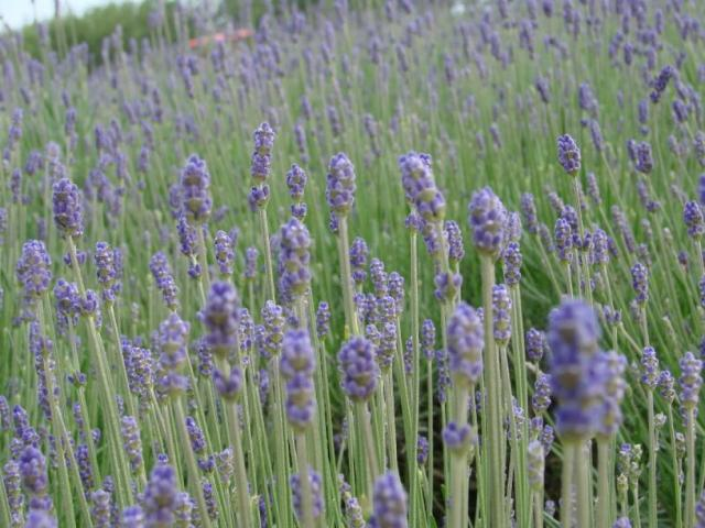 field of lavender flower photo.jpg