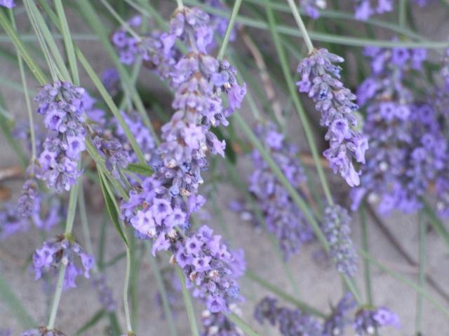 Lavender Blue picture.jpg Hi-Res 720p HD