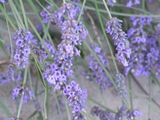 Lavender Blue picture.jpg