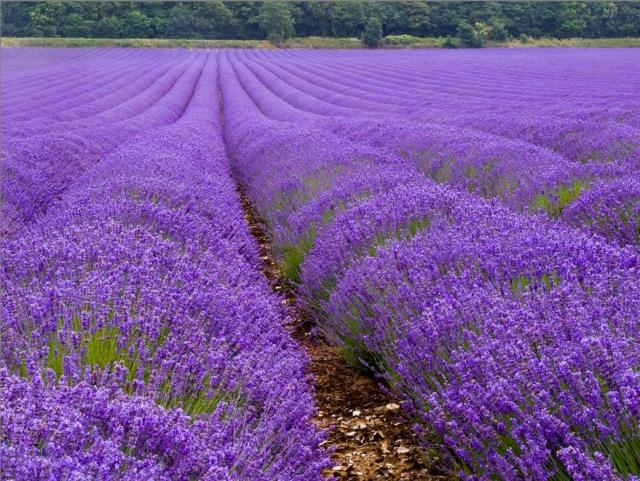 Lavender Flowers Field Jpg 3 Comments Hi Res 720p Hd
