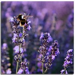 lavender flowers picture.jpg