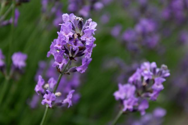 photo of lavender flower.jpg