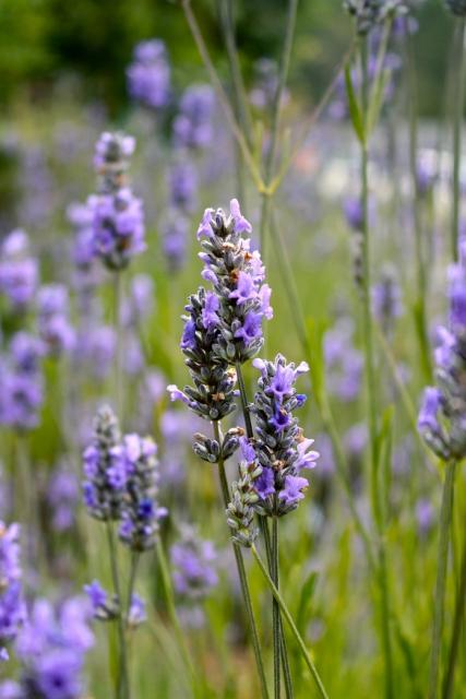 picture of lavender flower.jpg