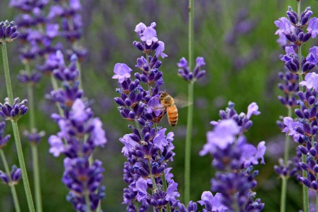 pictures of lavender flowers with bee.jpg