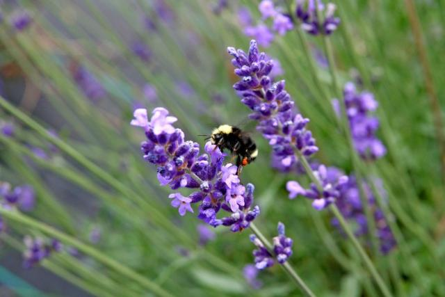 purple and lavender flowers with black bee.jpg