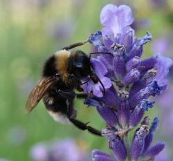 a lavender flower with big bee.jpg