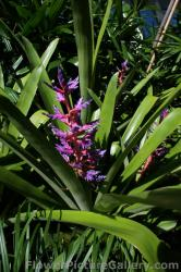 Bromeliads with green leaves red stalk lavender tips.jpg