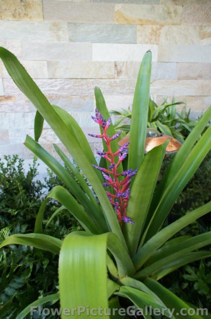Bromeliads with red stamen and purple tips.jpg