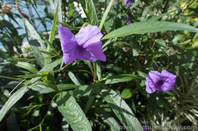 Purple Butterfly Shape Flowers with long green leaves from Oasis of the Seas Cruise Ship.jpg