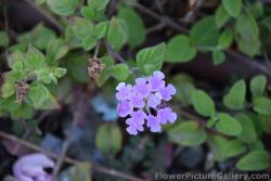 Purple Lantana in Malaga Spain.jpg