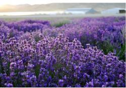 beautiful flower picture of lavender wild flowers.jpg