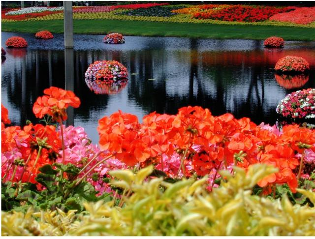 Beautiful And Colorful Flowers At Epcot Flower Garden In Disneyworld,  Orlando, Florida.JPG
