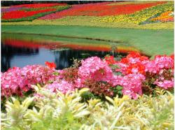 Epcot Flower Garden with full of beautiful and colorful flowers.JPG