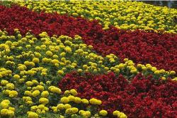 flower garden flowers in red and yellow.JPG