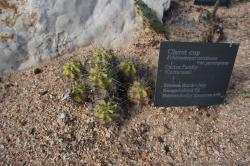 Group of 7 Claret Cup Cactus.jpg