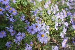 Purple Fall Aster flowers at Lady Bird Johnson Wildflower Center.jpg
