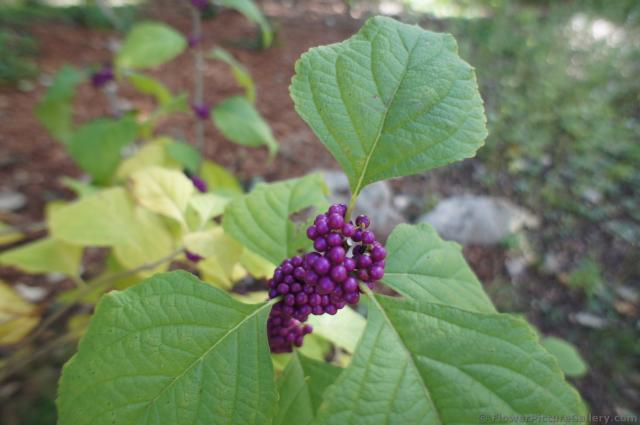 Purple berriers of American Beautyberry plant at Lady Bird Johnson Wildflower Center.jpg