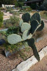 Large Texas Prickly Pear Cactus.jpg