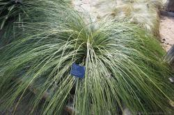 Bunch Grass Nolina texana at Lady Bird Johnson Wildflower Center.jpg