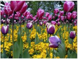 Kew Garden Flowers with purple tulips and bright yellow flowers.JPG