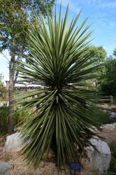 Spanish Dagger Yucca treculeana very large plant at Lady Bird Johnson Wildflower Center .jpg