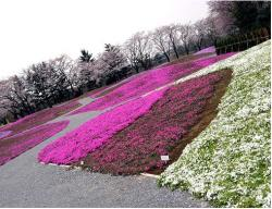 plant flower garden with purple, pink and white.JPG