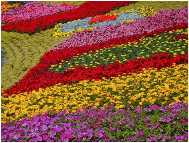 Rainbow flowers at Epcot flower garden in Disneyworld, Orlando, Florida.JPG