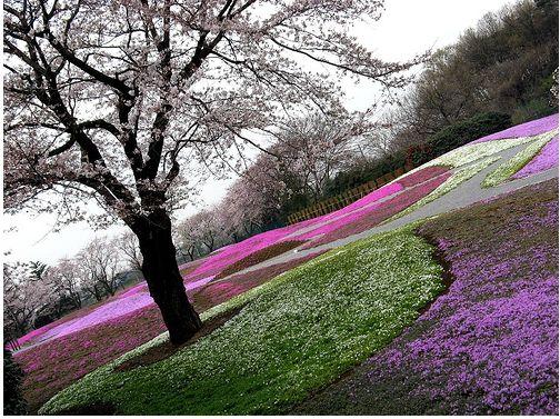 Tatebayashi flower garden with purple and pink flowersg mightylinksfo