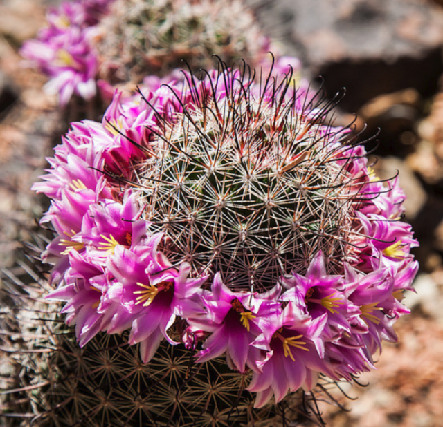 Photo of cactus flowers phoenix in purple pinkg mightylinksfo