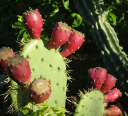 Cactus with fruits pictures.PNG