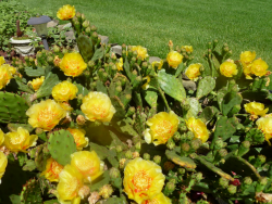 Cactus with yellow flowers photos.PNG