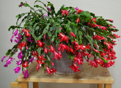 Christmas cactus in red and purple.PNG