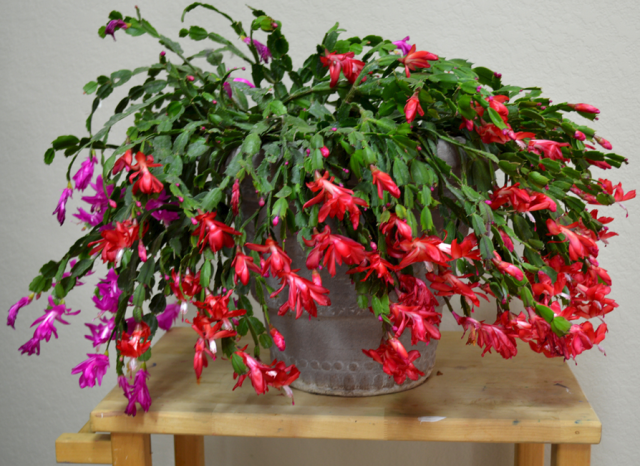 Christmas Cactus In Red And Purple Png