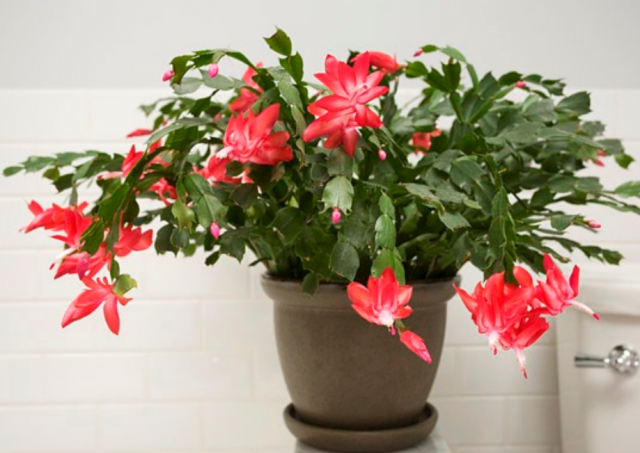 Christmas cactus pictures.PNG