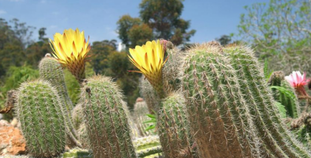 Close up pictures of yellow cactus flowers and pink cactus.PNG