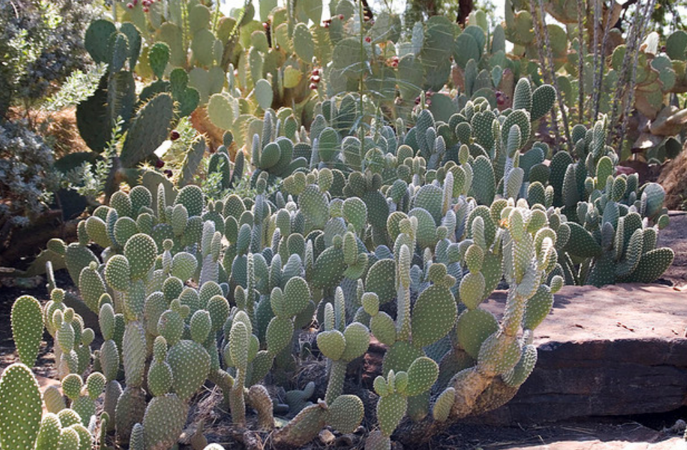 Common cactus pictures.PNG