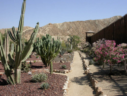 Desert cactus garden with tall cactus and cactus with purple pink flowers images.PNG
