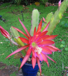 Hybrid Epiphyllum pictures.PNG