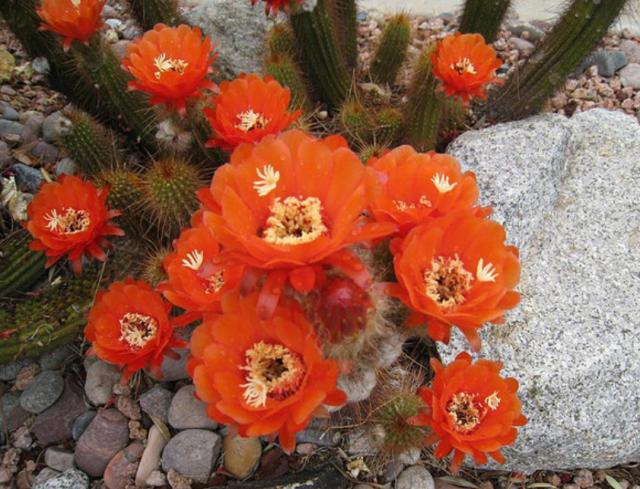 Orange Cactus Flowers Scottsdale Pictures Png