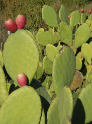 Pictures of cactus fruits.PNG