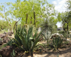 Pictures of desert cactus plants.PNG