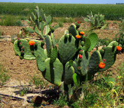 Pictures of prickly pear cactus with fruits and orange flowers.PNG
