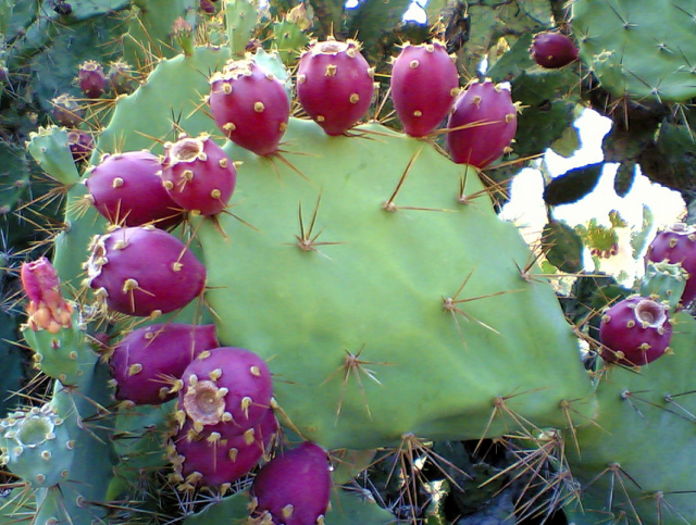 Pink prickly pear cactus photos.PNG