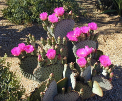 Blooming cactus with purple flowers.PNG